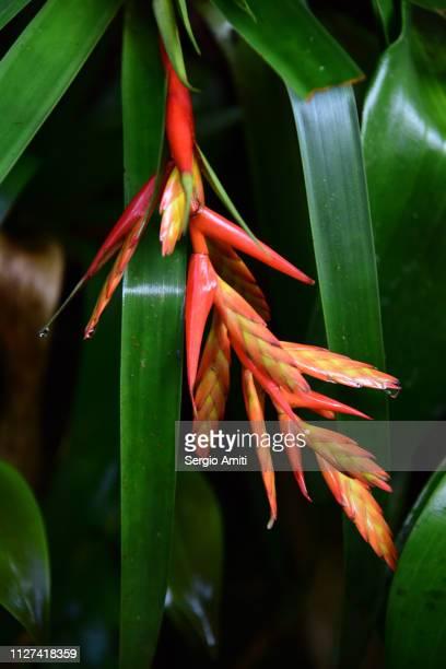 bromeliad - bromeliad ストックフォトと画像