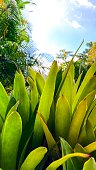 detail bromeliad plant leaves with blue