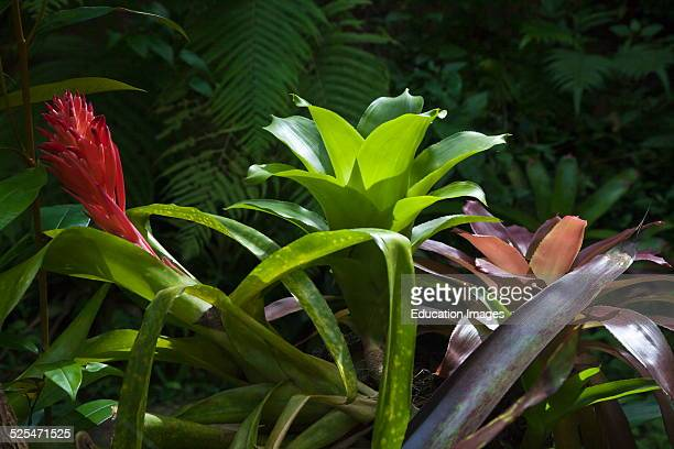 A Bromeliad Plants In Bloom At The Botanical Garden Ubud Bali Indonesia
