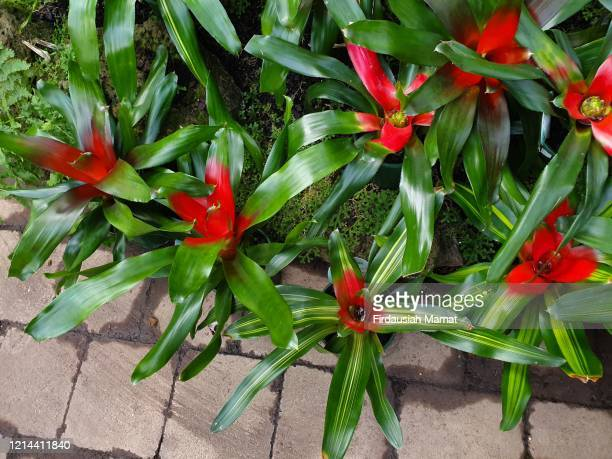 bromeliad plants - bromeliaceae stock pictures, royalty-free photos & images
