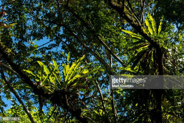 bromeliads in rainforest - epiphyte stock pictures, royalty-free photos & images