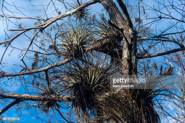 bromeliads in trees - epiphyte stock pictures, royalty-free photos & images