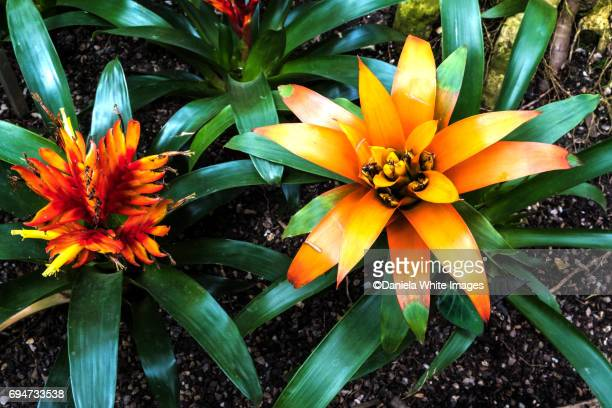 bromeliads - bromeliad stock photos and pictures