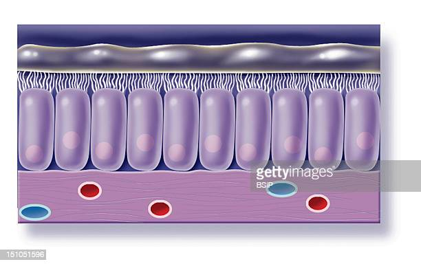 Bronchial Mucosa Bronchial Mucosa Is Composed Of A Ciliated Pseudostratified And Prismatic Epithelium Lies On A Basal Lamina And A Chorion...