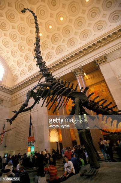 Brontosaurus Skeleton at American Museum of Natural History