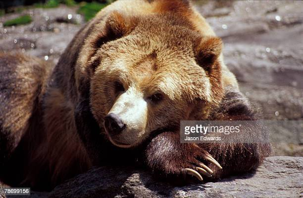 A sleepy Grizzly Bear resting its head on its paws on a rock.