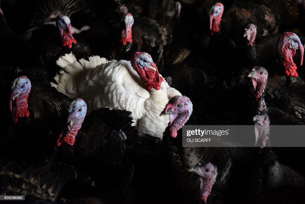 BRITAIN-LIFESTYLE-ANIMAL-CHRISTMAS-TURKEY : News Photo