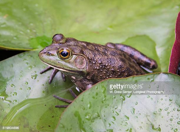 bronze bullfrog on lilypad - bullfrog stock pictures, royalty-free photos & images