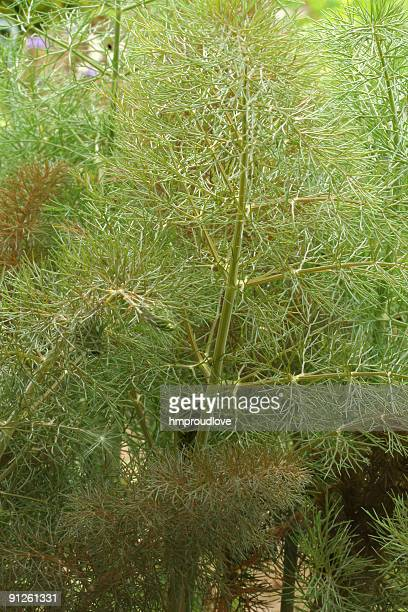 bronze fennel - bronze colored stock pictures, royalty-free photos & images