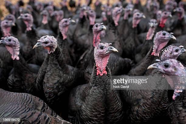 bronze free-range turkeys - turkey bird stock pictures, royalty-free photos & images
