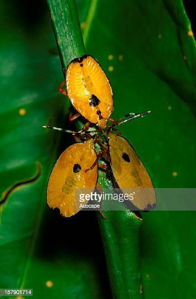 Bronze orange bugs bugs with juvenile coloration A pest of citrus trees able to spray a noxious fluid Australia