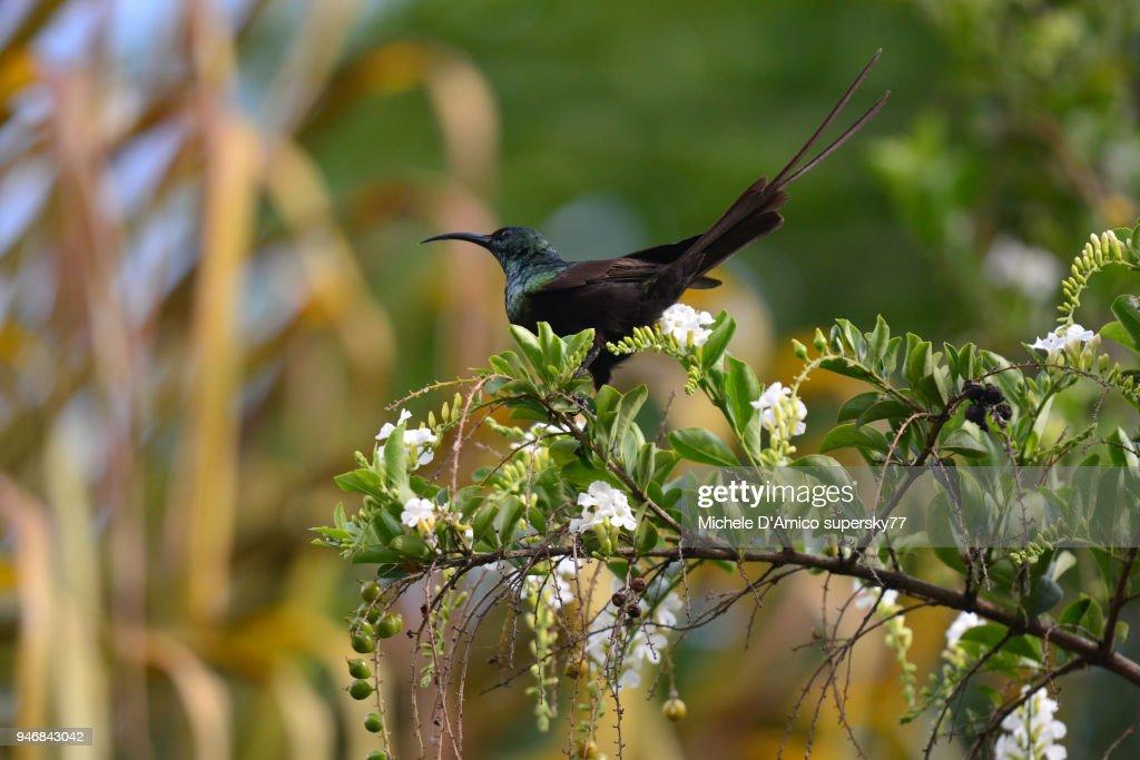 Bronze Sunbird (Nectarinia kilimensis) : Stock Photo