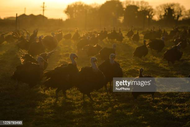 Bronze turkeys hatched in June and raised free range for Christmas are seen ready for market on David McEvoy's turkey farm in Termonfeckin, near...