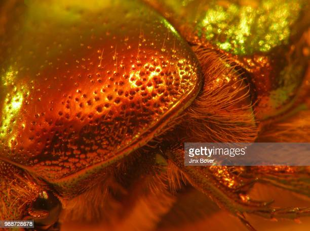 bronzer - christmas beetle stock pictures, royalty-free photos & images