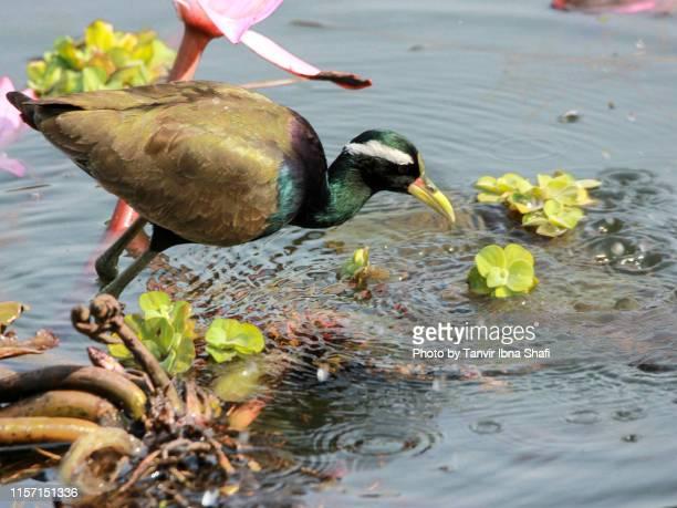 bronze-winged jacana (jesus bird); bangladesh - savar stock pictures, royalty-free photos & images