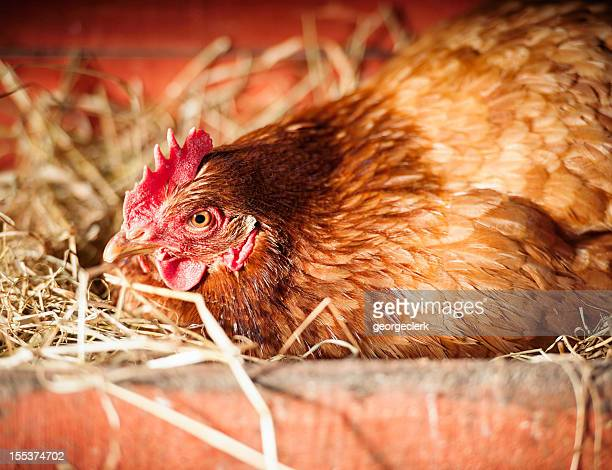 broody hen laying an egg - hen stock pictures, royalty-free photos & images