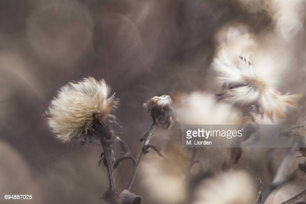 Brook Thistle Seed Heads