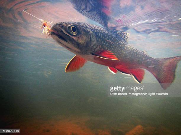 brook trout from high uintah mountains - speckled trout stock photos and pictures
