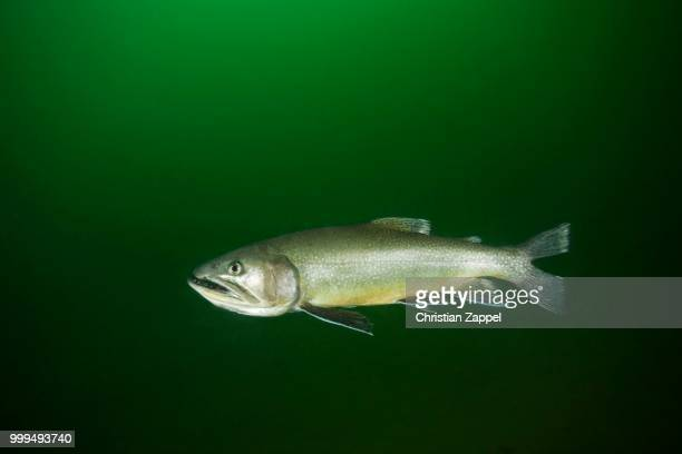 brook trout (salvelinus fontinalis), lake grueblsee, styria, austria - speckled trout stock photos and pictures