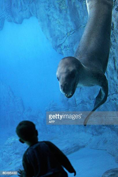 Brooke, a Leopard Seal watches a child in its new enclosure at Sydney's Taronga Zoo on April 2, 2008. The Australian zoo opens April 3, 2008 a new...