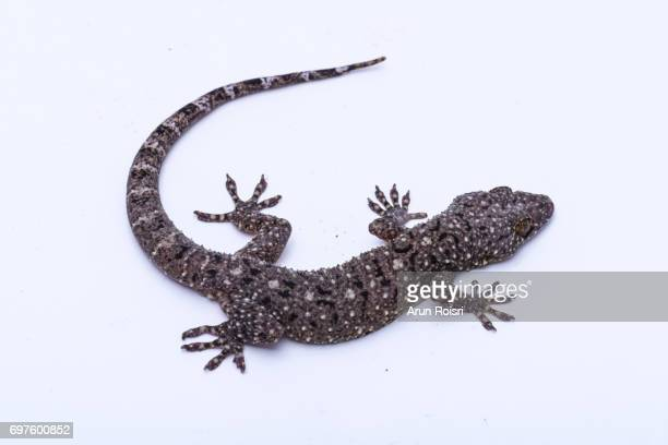 brooke's house gecko (hemidactylus brookii) - geco foto e immagini stock