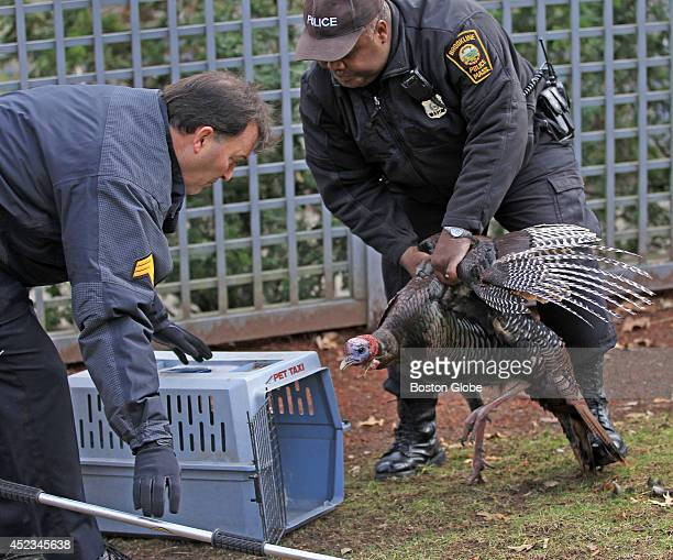 Brookline Animal Control officer Pierre Verrier puts a wild turkey into a cage altering capturing it in Brookline Mass
