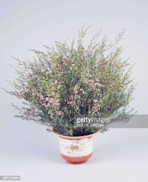 Broom teatree or Manuka Myrtaceae