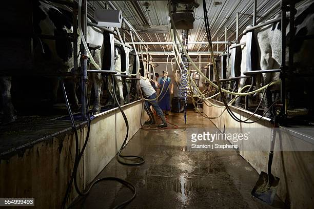 Brothers and sister attaching milk machines to cows on dairy farm