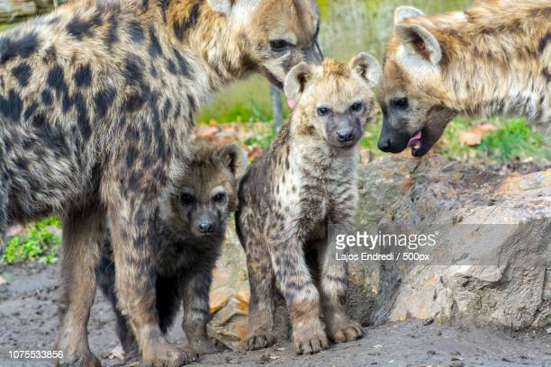 brothers and sisters - spotted hyena stock pictures, royalty-free photos & images