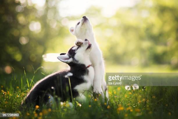 brothers love - シベリアンハスキー ストックフォトと画像