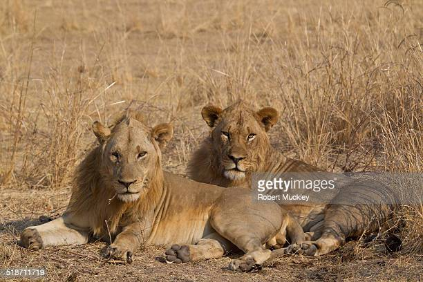 brothers - south luangwa national park stock pictures, royalty-free photos & images