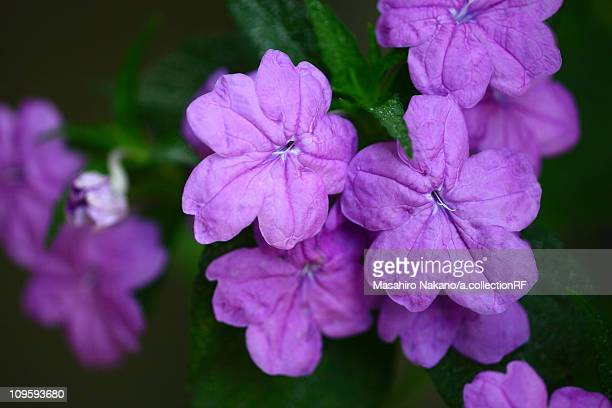 browallia speciosa flowers - chofu stock pictures, royalty-free photos & images