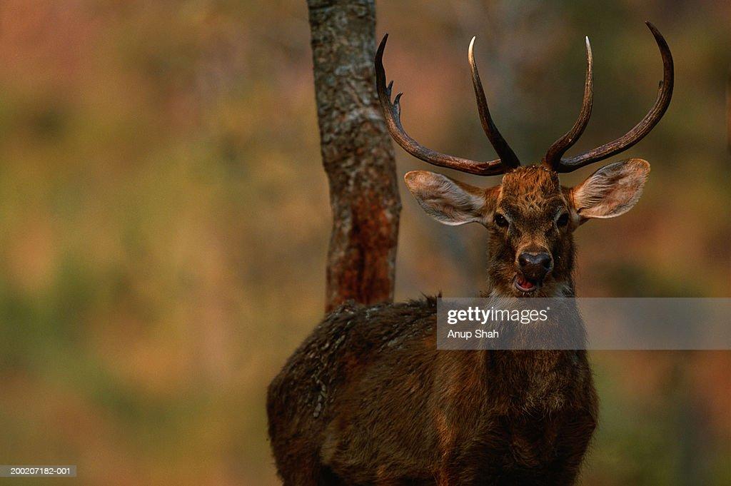 Brow-antlered deer (Cervus eldi eldi) standing, close up, Keibul lamjao N.P, India : ストックフォト
