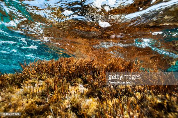 Brown algae Cystoseira endemic in the Mediterranean a protected species on august 19 2011 in Porto Pollo France The Mediterranean represents a...