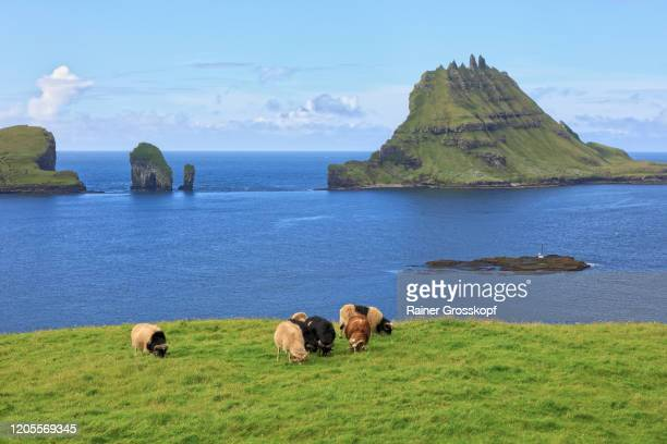 brown and black sheep grazing on a meadow with small grassy and rocky islands in the background - rainer grosskopf stock-fotos und bilder