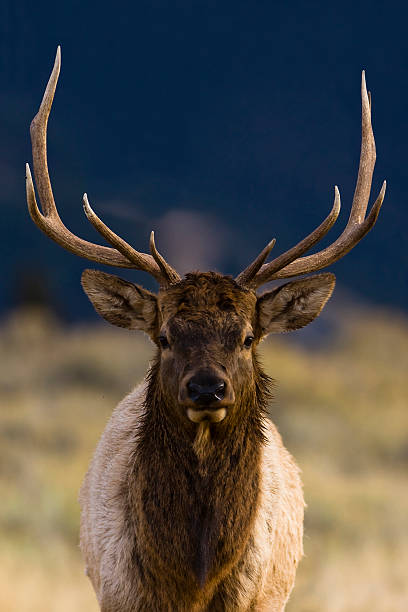 Brown and white bull elk against a blurred background