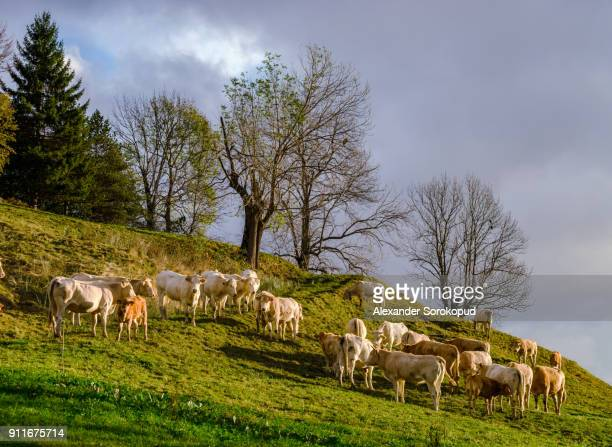 brown and white cows on the sun, calm and tranquil pasturage, pyrenees, france - オートピレネー ストックフォトと画像