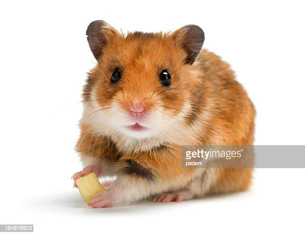Brown and white hamster eating cheese on white background