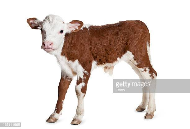 Brown and white Hereford calf on a white background