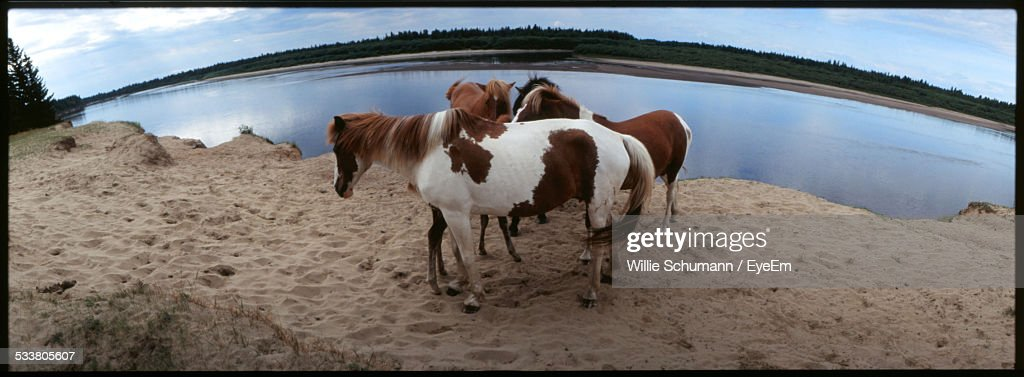Brown And White Horses On Sandy Beach : ストックフォト