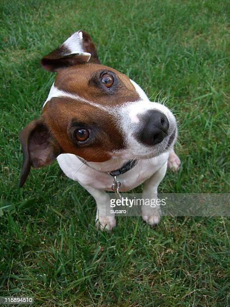 A brown and white jack russell terrier in a cute pose