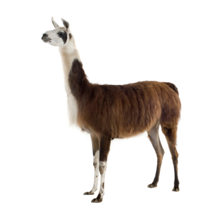 Brown and white llama standing with a white background 93213171