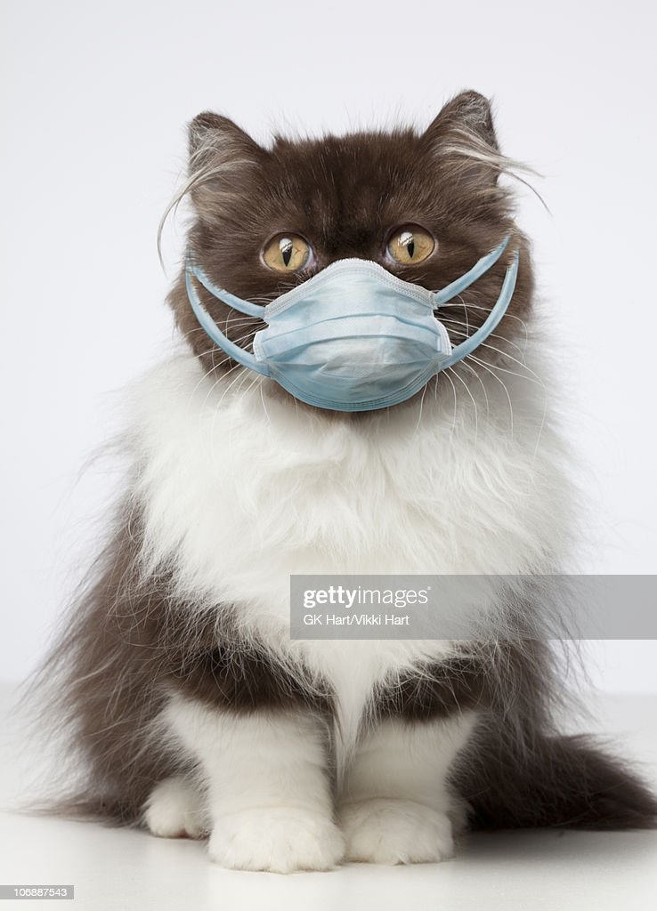 Brown and White Persian Cat wearing germ mask  : Stock Photo