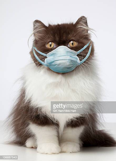 brown and white persian cat wearing germ mask  - healthcare stock pictures, royalty-free photos & images