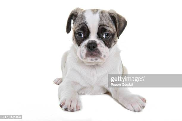 brown and white pug/boston terrier mix looking at the camera on a white background - boston terrier stock pictures, royalty-free photos & images