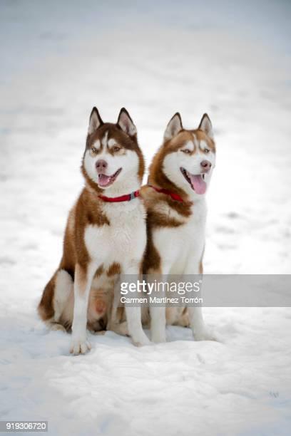Brown and White Siberian Husky Couple on snow