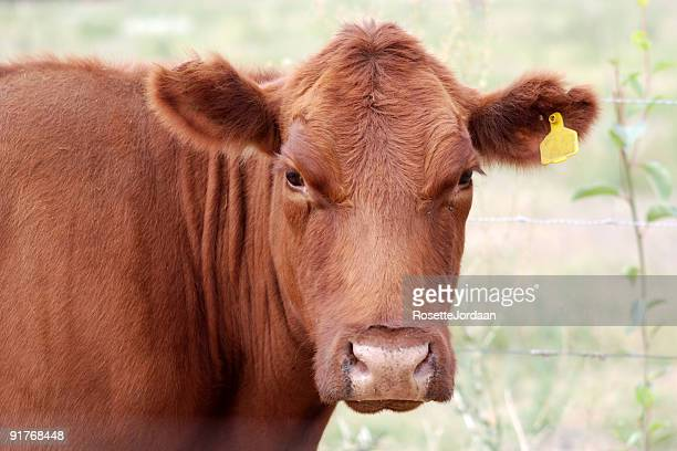 Brown Angus Cow