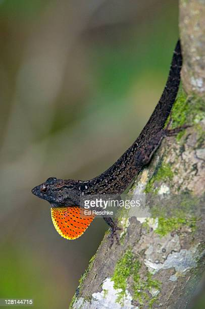 brown anole male (anolis sagrei) displaying its dewlap (throat fan) everglades national park, florida, usa - ed reschke photography stock photos and pictures