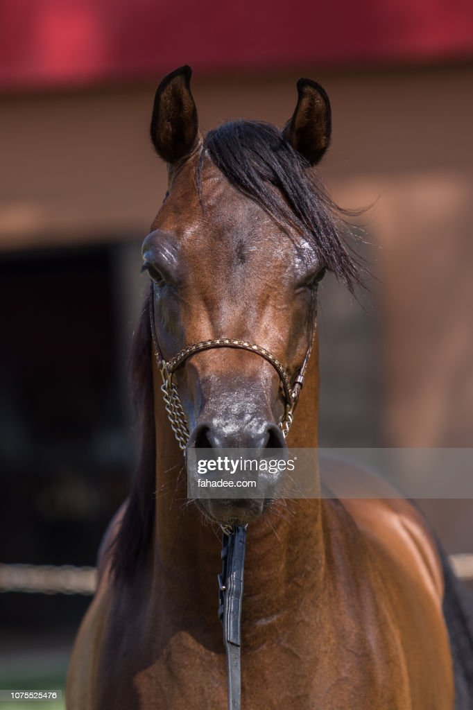 Brown Arabian Horse Portrait High Res Stock Photo Getty Images