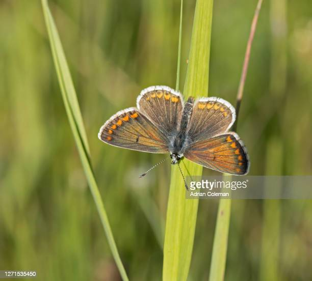 brown argus butterfly - brown stock pictures, royalty-free photos & images